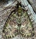 3/25/19 moth - Hydriomena transfigurata