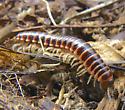 millipede - Semionellus placidus