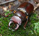 big beetle - Lucanus capreolus