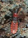 Reduviidae - Sirthenea carinata
