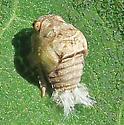 Acanalonia sp nymph - Acanalonia bivittata