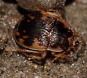 Beetle by river - Omophron americanum