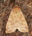 Moth - Enargia decolor