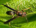 Wasp or Hornet? - Polistes parametricus