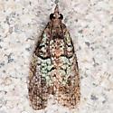 Hodges#3286 - Epinotia medioviridana