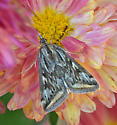 Moth 7225 - Loxostege cereralis
