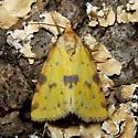 Obtuse Yellow - Hodges #9725 - Azenia obtusa