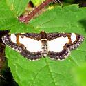 Common Spring Moth - Hodges#6261 - Heliomata cycladata
