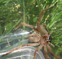 small hairy spider with a V on its back - Olios giganteus