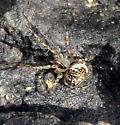 Miniscule spider - Mimetus
