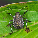 Insect for Identification - Halyomorpha halys
