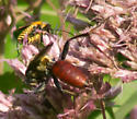 Red thread-waisted wasp - Sphex habenus - male