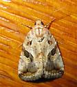 Moth - Diastema - Diastema n-sp
