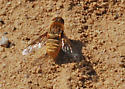 OC Bee Fly Archives - sandy colored fly - Paravilla fulvicoma