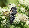 Bee for ID - Coelioxys