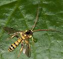 Yellow wasp - Colpotrochia
