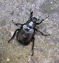 Shiny Black Beetle - Osmoderma scabra