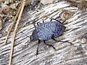 Rough Fungus Beetle - Gibbifer californicus