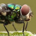 Calliphoridae? - Chrysomya rufifacies