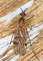 Sylvicola punctatus ? - female