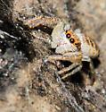 Jumping Spider, maybe Hentzia mitrata - Hentzia