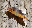 Comma or Questtion Mark? - Polygonia interrogationis