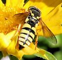 Wasp - Bicyrtes