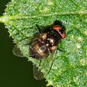 Leaf Miner Fly - Family Agromyzidae