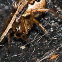 Tiny Insect (Mite?) with Spider