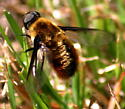 Bee Fly - Villa fulviana