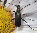 unknown beetle - Grammoptera subargentata