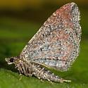 Unknown Moth - Orthonama obstipata