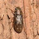 Hydraenidae - Helophorus