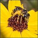 unknown bee on Tickseed - Halictus poeyi - female