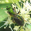 Green Bee - Augochlora pura