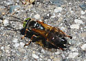 A very solitary wasp  - Tachytes distinctus - male