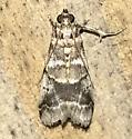 Acrobasis indigenella
