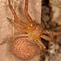 Big Round Spider - Xysticus funestus - female