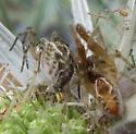 spiders on Eryngium - Mallos