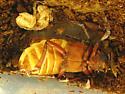 Prionus californica - Prionus californicus