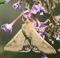 Moth - Helicoverpa zea