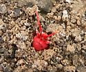 giant red velvet mite emerging from hole at Falcon State Park - Dinothrombium