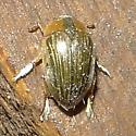 Beetle ID Request - Tropisternus collaris