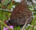 Ross's Alpine - Erebia rossii
