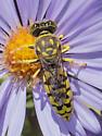 Sand Wasp - Maybe Steniolia? - female