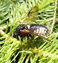 Elm Sawfly adult - Cimbex americana