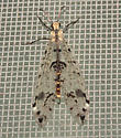 Spotted-winged Antlion - Dendroleon obsoletus