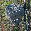 Nest - Bald-faced Hornet - Dolichovespula maculata