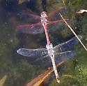 Dragonflies - Sympetrum corruptum - male - female