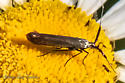 tiny metallic moth - Coleophora mayrella